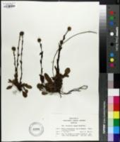 Image of Globularia elongata
