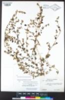 Acmispon americanus var. americanus image