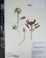 Image of Diplacus angustatus