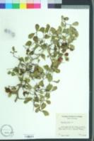 Crataegus flava image