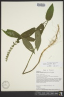 Image of Stachys salvioides