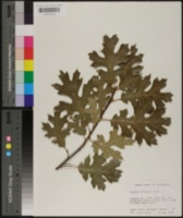 Quercus kelloggii image