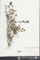 Serissa japonica image