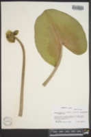 Nuphar advena subsp. advena image