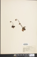 Image of Pinguicula vulgaris