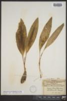 Allium tricoccum image