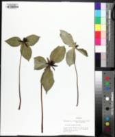 Image of Trillium stamineum