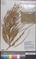 Image of Syagrus coronata