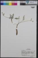 Lomatium engelmannii image