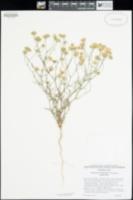 Chaenactis carphoclinia var. carphoclinia image