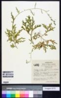 Image of Selaginella cladorrhizans
