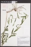 Image of Vernonia x recurva