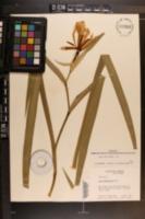 Iris brevicaulis image