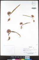 Allium cratericola image