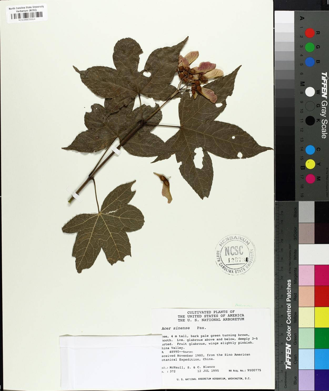 Acer campbellii subsp. sinense image