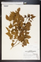 Image of Amyris balsamifera