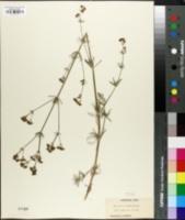 Image of Asperula glauca