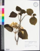 Image of Viburnum lantanoides