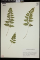Cystopteris × tennesseensis image