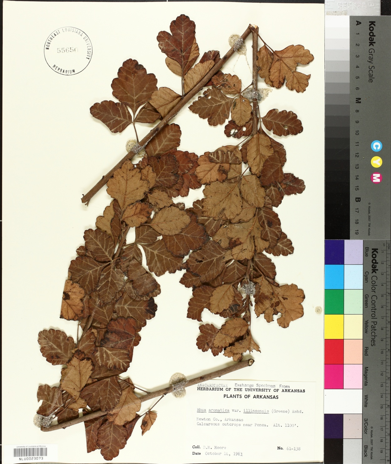Rhus aromatica var. illinoensis image