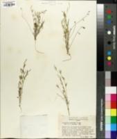 Image of Astragalus brandegei