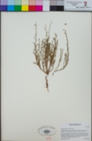 Crocanthemum scoparium image