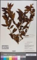 Image of Symplocos guianensis