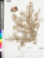 Picea pungens image