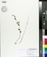 Image of Tragia urticifolia
