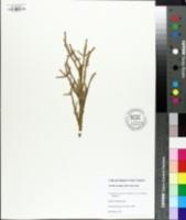Cryptomeria japonica image