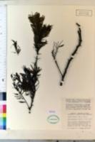 Image of Acacia macracantha