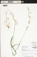 Arrhenatherum elatius var. bulbosum image