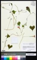 Ipomoea cardiophylla image