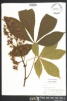Image of Aesculus carnea