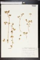 Medicago maculata image