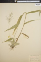 Image of Panicum polyanthes
