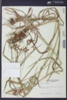 Scirpus atrovirens image