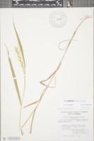 Image of Elymus svensonii