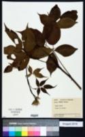 Image of Rubus bushii