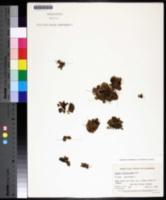 Azolla filiculoides image