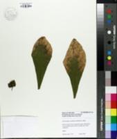 Image of Dalechampia spathulata