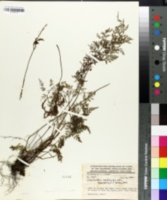 Aspidotis meifolia image
