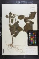 Perilla frutescens image
