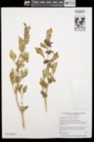 Oxybasis macrosperma image