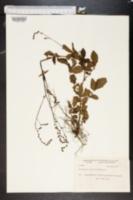Agrimonia mollis image