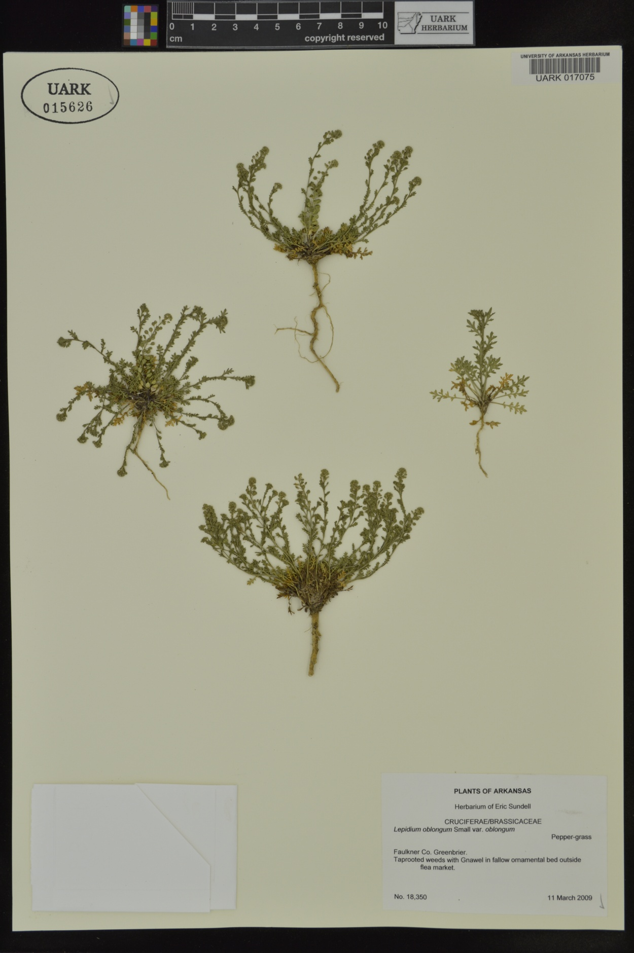 Lepidium oblongum var. oblongum image