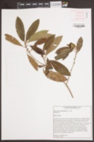 Image of Sideroxylon salicifolium