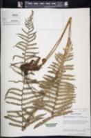 Amauropelta rosenstockii image
