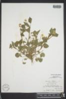 Viola striata image