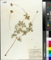 Image of Geranium potentillaefolium
